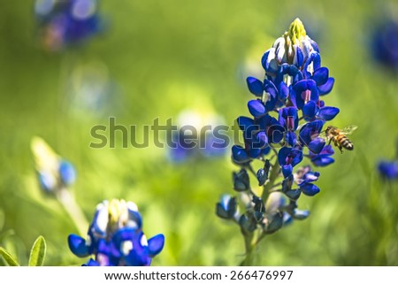 The pollinator honey bee pollinates a Texas Blue bonnet - stock photo