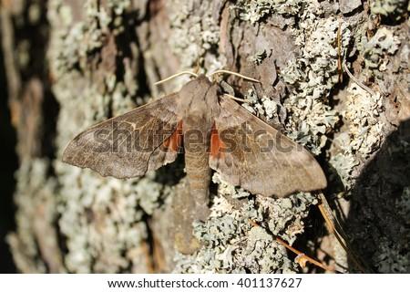 The poplar hawk-moth in a tree. This hawk-moth was sunbathing on a tree bark - stock photo