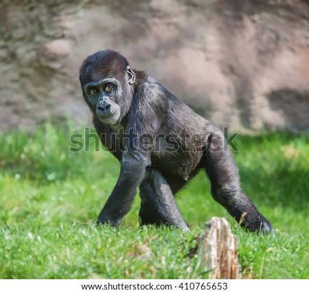 The portrait of a young gorilla  - stock photo