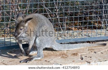 the portrait of big beautiful gray kangaroo - stock photo