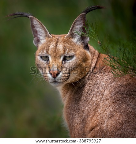 The portrait of Caracal snarling