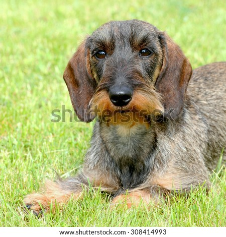 The portrait of Dachshund Wire-haired dog in the garden - stock photo