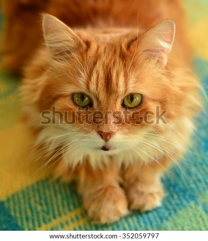 The portrait of fluffy red cat. - stock photo