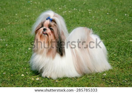 The portrait of funny Shih Tzu dog in the spring garden - stock photo