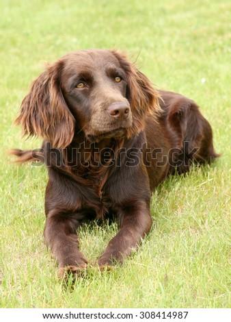 The portrait of German Spaniel in the garden - stock photo