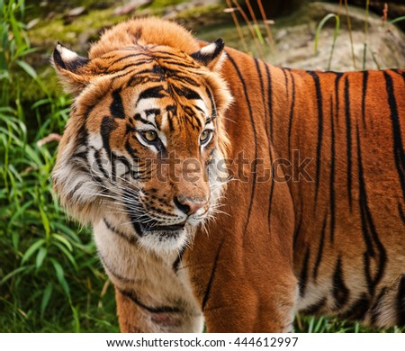 The portrait of Malayan tiger - stock photo