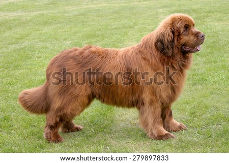 The portrait of Newfoundland brown dog in the garden - stock photo
