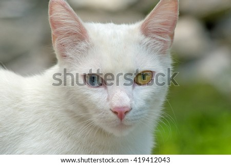 The portrait of  white cat with 2 Different-Colored Eyes - Selective focus - stock photo