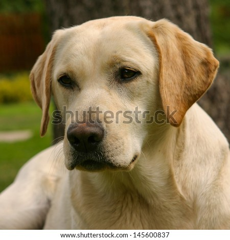 The portrait of young labrador retriever - stock photo