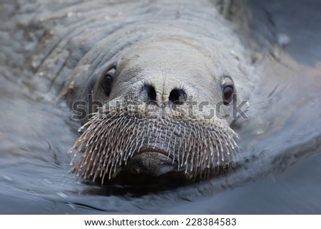 The portrait of young walrus a closeup - stock photo