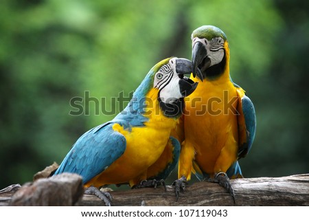 The potrait of Blue & Gold Macaw concept love - stock photo
