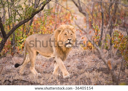 The Pride Leader walks through his territory - stock photo