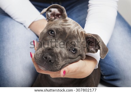 The puppy dog of Pitbull in woman's hands - stock photo