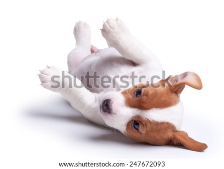 the puppy Jack Russell lies on white background. Isolated - stock photo