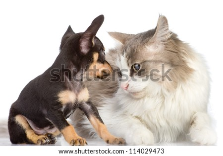 the puppy looks at a cat. isolated on white background - stock photo