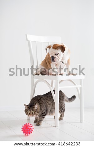 The puppy of the English bulldog costs on a chair and attentively watches a cat with a ball - stock photo