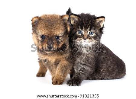 The puppy of the spitz-dog with a kitten - stock photo