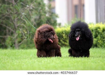 The  purebred big poodle dog portrait  in outdoors - stock photo