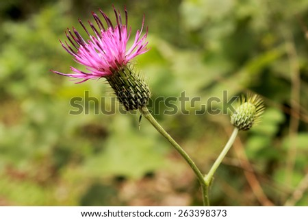 The purple blossom of the native midwestern USA wildflower Tall Thistle, Cirsium altissimum, blooms over a blurred green landscape background. - stock photo