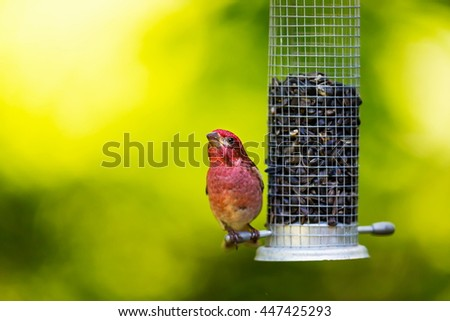 The Purple Finch is the bird that has been famously described as a â??sparrow dipped in raspberry juice.â? This was taken deep in a boreal forest in North Quebec Canada. - stock photo