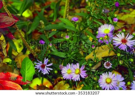 The purple flowers in the autumn garden closeup - stock photo