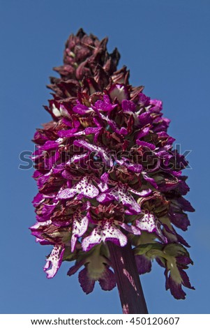 The purple orchid is one of the largest domestic orchids and can reach the impressive height of 80 centimeters. - stock photo