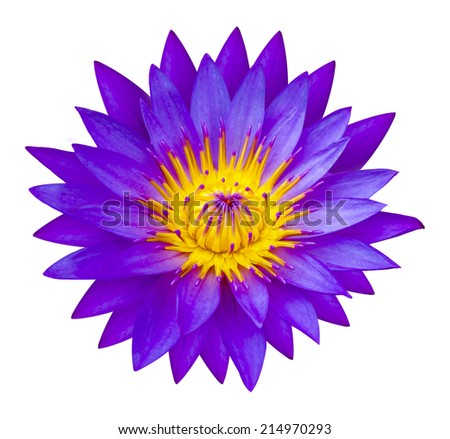 The Purple waterlilly or lotus flower represents one symbol of fortune in Buddhism It grows in muddy water. white background - stock photo