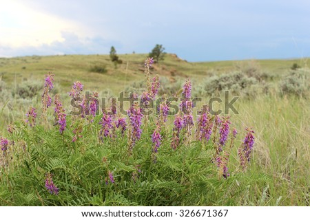 The purple wildflower Purple Loco, Oxytropis lambertii, whose toxin, swainsonine, poisons livestock, grows in the Western United States of America. - stock photo