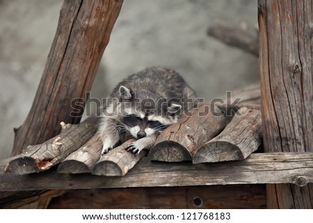 the raccoon sleeps in a wooden lodge - stock photo