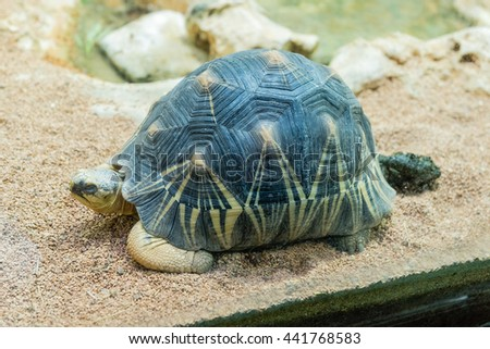 The radiated tortoise, endemic turtle from south of Madagascar, here at the zoo in Rome, Italy - stock photo