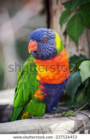 The Rainbow lorikeet (Trichoglossus haematodus) is a species of Australasian parrot found in Australia. Animal theme. - stock photo