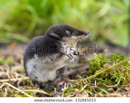 The Rare and Elusive European Water Shrew (Neomys fodiens) sitting on it's Hind Legs - stock photo