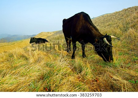 The rare breed of Gloucester cattle winter grazing and resting on Painswick Beacon in the soft early light of sunrise, The Cotswolds, Gloucestershire, England, UK  - stock photo