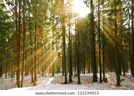 The rays of the sun in the winter pine forest. - stock photo