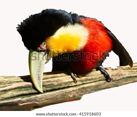 The Red-breasted Toucan sitting on the branch and looking down. The red-breasted Toucan ( Ramphastos dicolorus) is found in southern and Eastern Brazil, Eastern Paraguay and North-Eastern Argentina. - stock photo