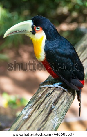 The Red-breasted Toucan sitting on the branch isolated on white. The red-breasted Toucan ( Ramphastos dicolorus) is found in southern and Eastern Brazil, Eastern Paraguay. - stock photo