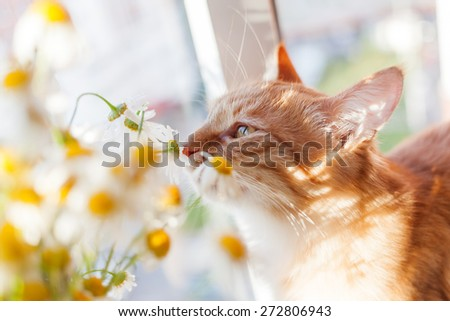 The red cat smells a bouquet of camomiles. Cozy morning at home. - stock photo