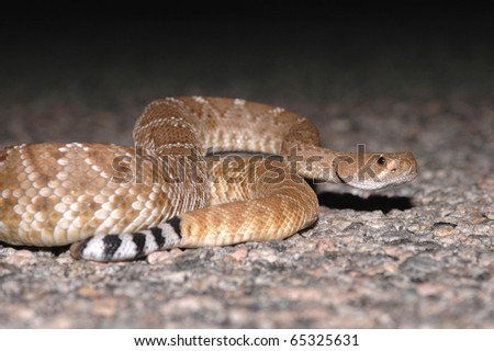 The red diamond rattlesnake is found in the deserts and grasslands of southwestern California. - stock photo