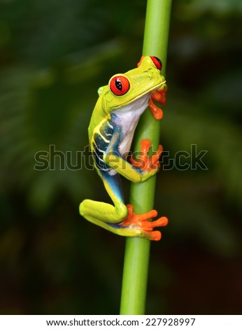 the red eyed tree frog or gaudy leaf frog or Agalychnis callidryas is a arboreal hylid native to tropical rainforests in Central America commonly panama and costa rica .  - stock photo