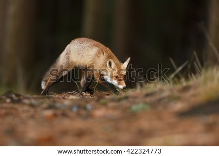 The red fox with a dark background Forest cautiously sniffing the tracks ahead. The fox is still looking for what  caught. - stock photo