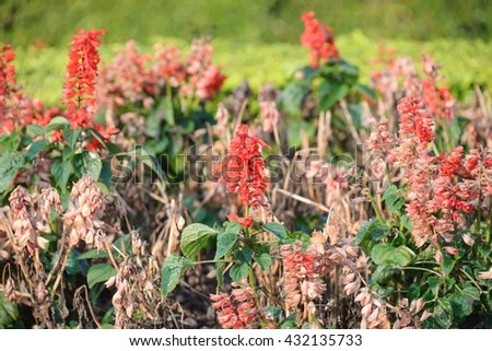 The red light is a red flower if planted in a wide area to see red all over. - stock photo