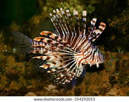 The red lionfish (Pterois volitans) is a venomous, coral reef fish in the family Scorpaenidae, order Scorpaeniformes,invasive pest