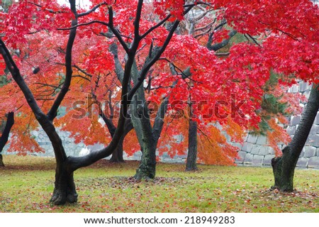 The red maple trees in japanese garden - stock photo