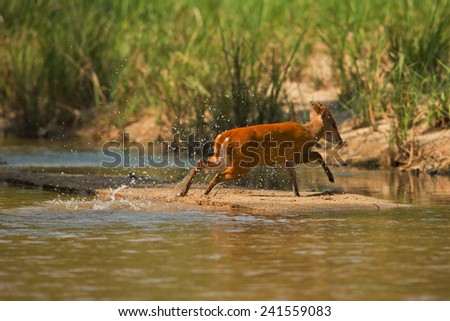 The Red muntjac crossing the stream of nature fires. - stock photo