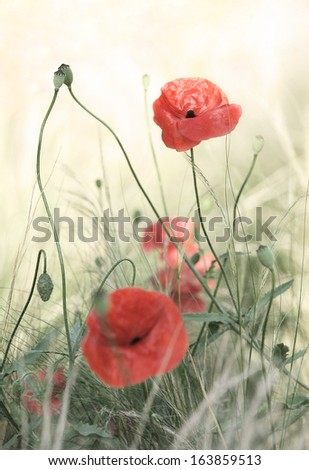 The red poppy, symbol of remembrance. - stock photo