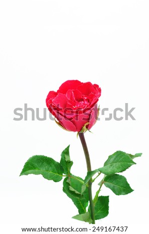 The red rose on white background - stock photo