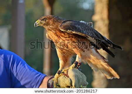 The red-tailed hawk is a bird of prey, one of three species colloquially known in the United States as the chickenhawk, perched on gloved hand for presentation - stock photo