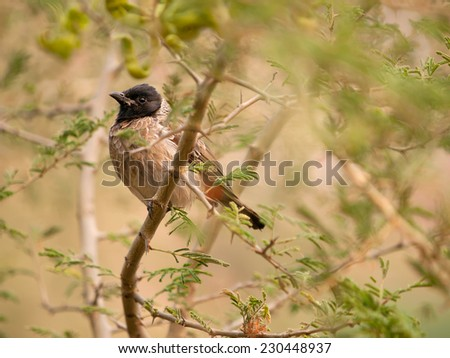 The Red-vented Bulbul (Pycnonotus cafer) on a branch in Jaipur, India - stock photo