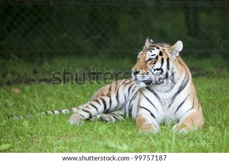 The resting tiger - stock photo
