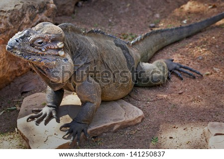 The Rhinoceros Iguana (Cyclura cornuta) is a threatened species of lizard in the family Iguanidae that is primarily found on the Caribbean island of Hispaniola (Republic of Haiti & Dominican Republic) - stock photo